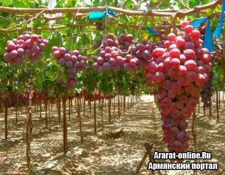 Армения ждет  неплохой урожай винограда