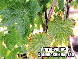 Болезни винограда и как с ними бороться
